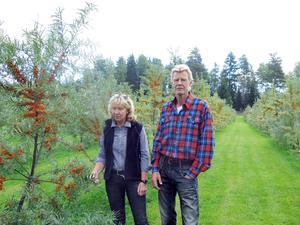 Christina Ståhlberg och Anders Jonsson valde att satsa på havtorn när de ville ha något att odla på sina marker.