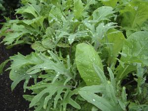 Testa att odla asiatiska bladgrönsaker i år.