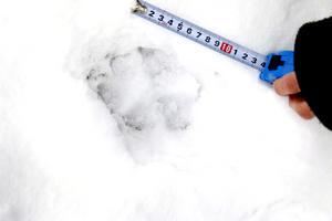 Genom inventering kan man hitta ett minsta känt antal vargar. Övrig beräkning görs vid skrivbordet. Får vi fler snöfattiga vintrar så kan man ju gå ut och försöka inventera varg, funderar insändaren.