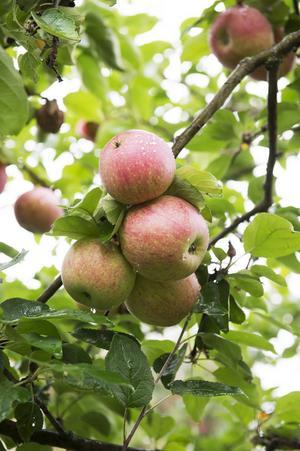 Välj ekologiska äpplen om du har möjlighet, uppmanar skribenterna.