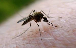 Naturvårdsverket ska avgöra om det blir myggbekämpning vid Dalälven i sommar