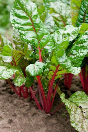 Mangold hör till gruppen mållväxter och är släkt med rödbetor och spenat. Den trivs med sallad och lök som också vill ha medelmycket gödsel.