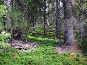 Hela skogsbruket borde vara mån om att nickelbiotoper identifieras och skyddas hellre än att motarbeta kunskap om naturvärden i skogen, skriver Per Bengtson och Ola Nordstrand. Foto: Anders Davidsson.
