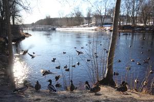 På söndag och måndag väntas det bli den varmaste dagen hittills i år. Foreca utlovar mellan tio till 13 grader plus i norra länet. Ankorna vid slussen passade på att njuta av sol och bad vid slussarna i Västanfors redan i dag.