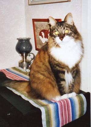 """min musse beter sig som en hund.""""Det här är min katt Musse, 13 år. Blandning Skogskatt-Bondkatt. Han är en klok liten herre. Han har en hunds beteende, älskar hundar och hatar katter. Han är mattes hjälpreda och sina uppgifter sköter han perfekt. Han markerar när telefonen eller dörren ringer. (Matte hör dåligt.) Han passar mobilen till mattes gäster om ingen reagerar. Han markerar när gästerna ska gå hem. Han har sin knep att ta tag i brevlådan och smäller med den. Passar när ÖP kommer för han vet att matte vill läsa. Han är envis, gör inget han inte själv vill. Går i koppel som en hund. Matte måste sitta hos honom när han äter, han vill ha mycket uppmärksamhet – och det får han. Han har även lärt sig att säga 'mam'. Han är väldigt pratig, ger sig inte förrän man förstår vad han vill. Hans bästa kompis är en hund som heter Emma."""" Det berättar matte  Berit Oldstrand, Frösön."""