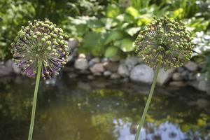 Runt trädgårdens lilla damm växer Allium, som nästan är lika vackra när de blommat över.