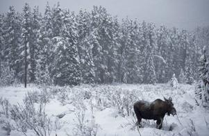 Under stora delar av historisk tid har ansvaret för vilt och skog legat på samma myndighet i Sverige.