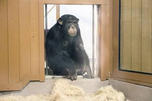 Tolvårige schimpanshanen Tjobbe är både omtyckt kamrat och en rival.