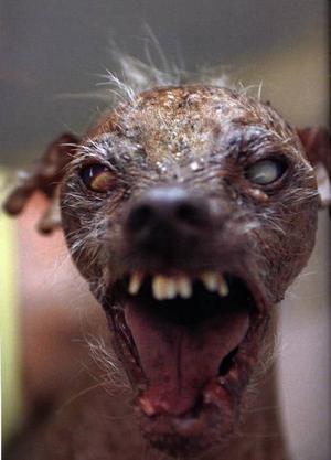 Sam, segrare i tävlingen om världens fulaste hund.