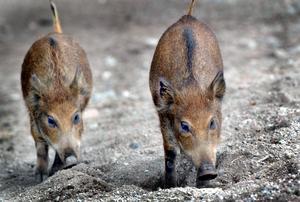 Länsstyrelser har beviljat extra jakt på bland annat vildsvin, skriver Peter.