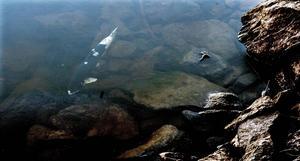 Många av fiskarna som simmar i vattenbrynet har drabbats av svampangrepp.