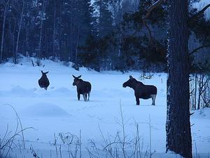 Hade turen att stöta på dessa älgar på väg till arbetet en morgon! Fanns en parkering i närheten där jag i lugn och ro kunde fota dessa ståtliga djur! Kan vara en fördel att vara långbent denna snörika vinter!!