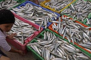 Stor sardinfångst i Sydafrika. Utfiskningen av sardinen drabbar vidare pingvinerna eftersom de inte längre hittar mat till sina ungar.