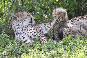 Gepardhona med ungar.