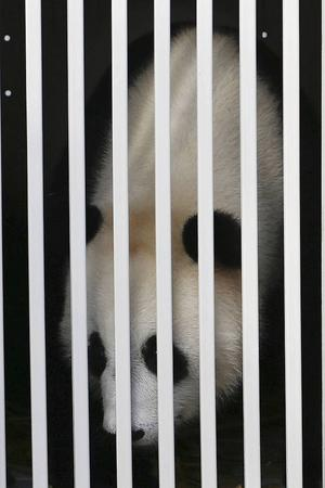 Panda i bur.