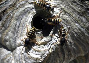 Förutom getingar är det vanligt att sanera vägglöss och myror i Sundsvallsområdet.