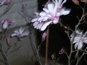 Leonard Messel står i full blom och doftar som bara en magnolia kan.