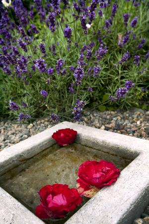 Överallt i trädgården finns små vackra dekorationer i betong, sten, trä eller andra naturnära material. Här har Anna-Karin anlagt ett vattenblänk med rosor i lavendelbersån.