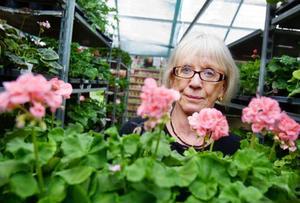 """Sonja Lindgrens favorit bland pelargonerna är Mårbackapelargonen. """"Jag tycker att det ljusgröna bladverket är väldigt vackert"""", säger hon.Foto: Ulrika Andersson"""