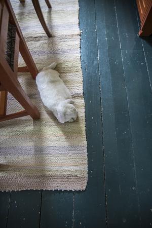 Kaninerna går fritt i huset när det är för kallt att vistas utomhus.