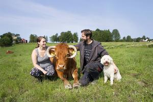 Kon Rosie är nästan tjugo år gammal och är en av de allra tamaste djuren på gården.