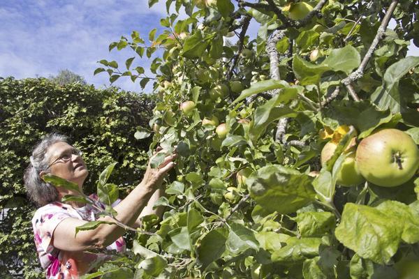 Ann-Sofi Freyhult har nio äppelträd hemma i trädgården på Blåsbo i Västerås, men 17 sorters äpplen eftersom det har ympats in fler sorter. Hon gör allt från äppelkakor till egen must och äppelmos.