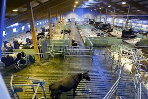 Investeringarna i nya stallplatser för mjölkkor rasar kraftigt i landet.