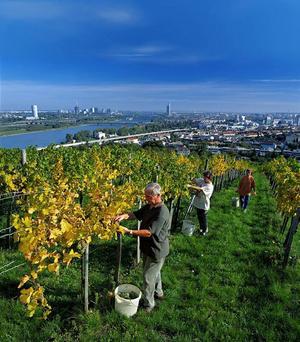 I Österrike produceras några av världens främsta vita viner. Här skördar man vid vingården Weingut Wieninger, Stammersdorf.Foto: Herbert Lehmann
