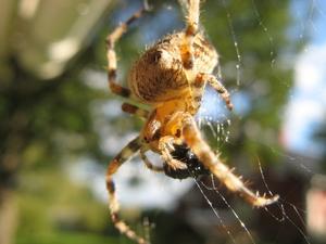 Den här spindeln har byggt ett stort nät ovanför en blomma som sitter på väggen. Den satt och mumsade på något svart som såg ut att ha varit en fluga. Nätet var ganska trasigt, så flugan hade nog inte gett sig utan kamp.Spindeln var ca 2 cm och väldigt vacker. Jag tror det är en korsspindel.