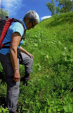 Inga Nordström, vår botanist, ser en getrams som börjar blomma.