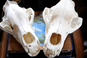 En trave kartböcker och två björnskallar vittnar om Stians stora intresse för jakt och resor världen över.