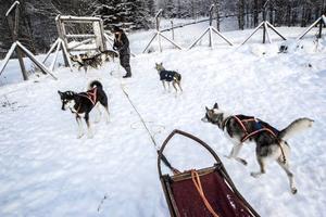 Dalia tävlar mestadels i klasser med fyra eller sex hundar i spannet.