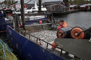 Andra veckan i maj lyste fiskelyckan över Mellanfjärden. En av dgarna noterades en total fångst på 5 ton.