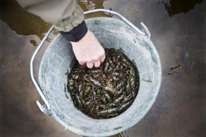 150 flodkräftor, övervägande honor, planterades ut häromdagen.