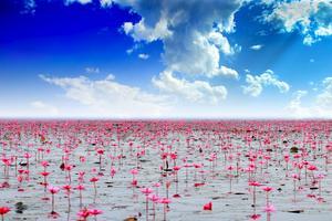 Lake Nong Harn i Thailand är täckt av lotusblommor mellan december och mars.