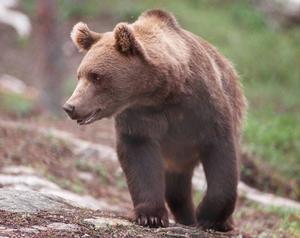 Massor av spillningsprov från björn har kommit in. Nu ska proven DNA-analyseras.