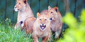 Inte ens lejonen på Frösö zoo har lyckats att locka norrmännen till Östersund i år.