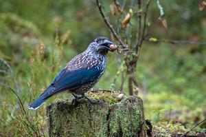 Under en skogstur med tanken att fotografera skogsfåglar hade jag en näve nötter i fickan i avsikt att locka fram en eller flera nötkråkor. Vackra fåglar som vistas i barr och blandskog. Kamera: Nikon D3200, objektiv Tamron 70-300, 1/8 sek f.5.6 ISO 400.