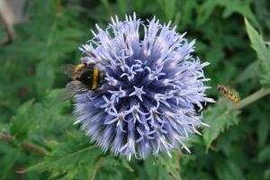 Bolltistel, som är attraktiv för alla sorters flygande insekter.