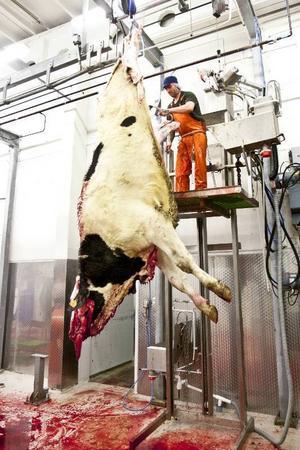 För ett litet slakteri är det viktigt att de anställda behärskar samtliga arbetsmoment. I dag har Jay Birtels hand om att förbereda djurkropparna innan de ska flås.