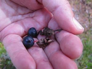 Mötte en liten groda på min skogspromenad den var inte större än ett blåbär