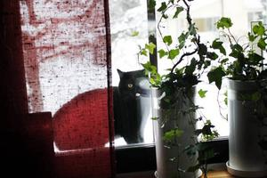 Katten Wille bor med familjen Sjögren i Valbo.