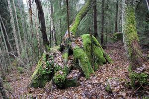 Det finns många märkliga formationer i en skog som fått växa orörd.