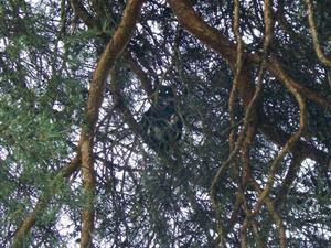 ihopkrupen. Katten har suttit på en gren högt upp i en tall sedan i måndags.