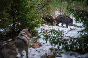 Dragarbild: Hunden Elda får beröm av Johan Eklöf för exemplariskt arbete i kontakt med vildsvinen. Elda är fokuserad på jakten men förstår inte varför inte någon jägare skjuter bytet hon spårat upp.