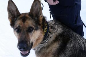 Yatzy har visat sig vara en sök- och spårhund av högsta kvalitet.