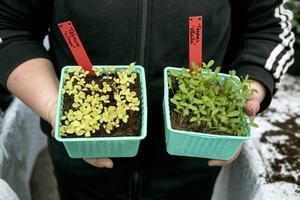 Ungefär 20 frön är lagom i de små sålådorna.
