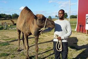 Mommo Deeq har lite vana av att sköta dromedarer, från sin barndom i Somalia. Den här bilden är tagen på Orust, där en av få dromedarer i Sverige finns.