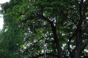 Hos en av Thomas Nilssons grannar står denna ståtliga 150 år gamla lönn som fått flera grenar kapade. Thomas är kritisk till att det gjort på sånt sätt att vatten och fukt kan ta sig in i trädet och bland annat orsaka röta.