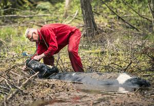 Något gick fel när stutarna skulle släppas ut på sommarbete. Lasse Reimertz från räddningstjänsten i Stöde sätter en grimma på det sista djuret som behöver hjälp upp ur det djupa vattendraget.